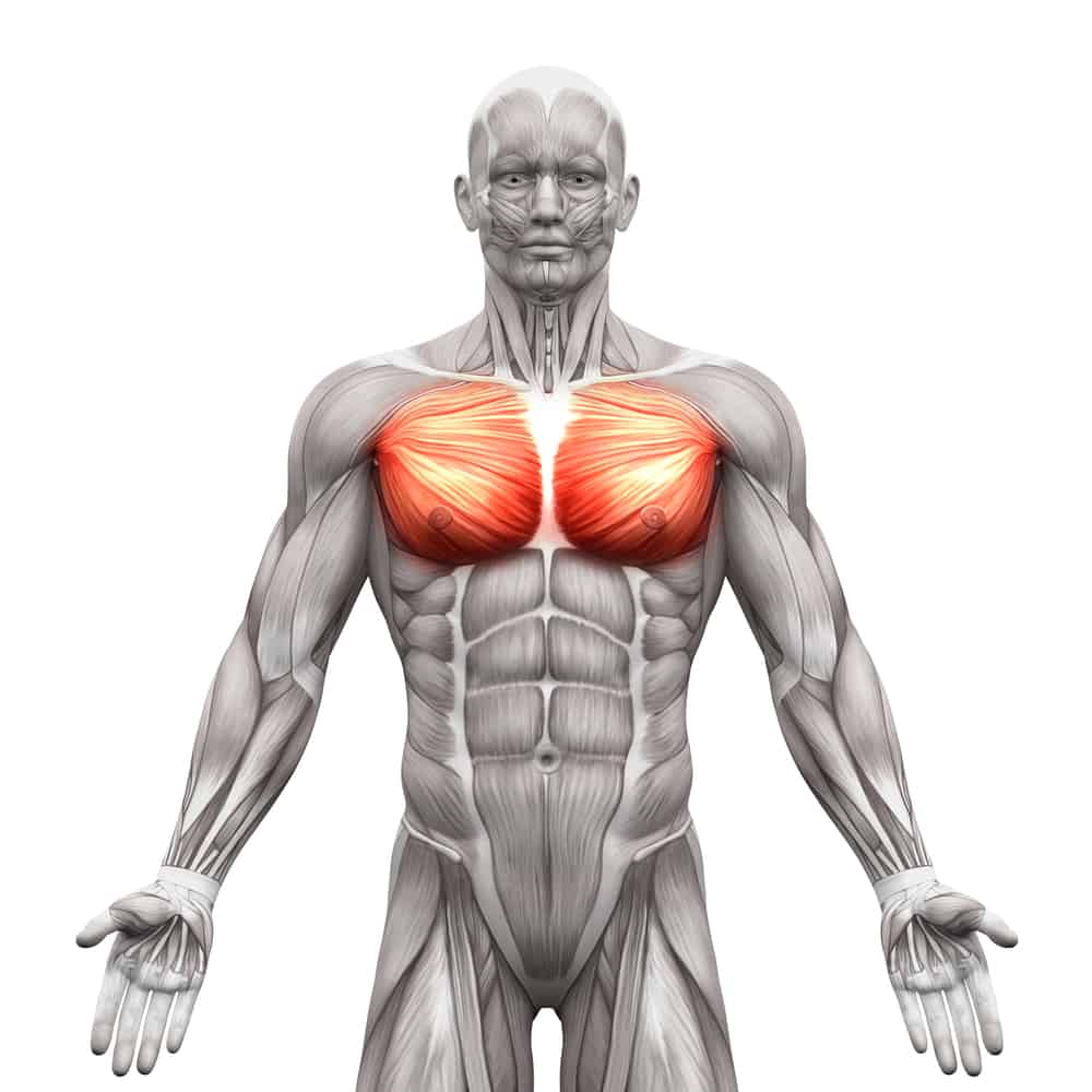 Chest Muscles - Pectoralis Major and Minor - Anatomy Muscles iso